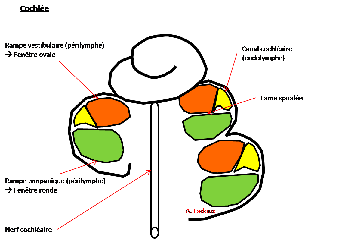 cochlée