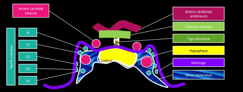 hypophyse