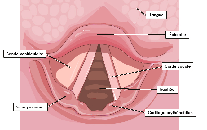 Larynx Archives Pinkybone